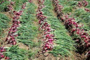 Coltivazione di cipolle rosse a Tropea