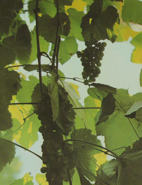 qualità e genuinità del vino come si riconosce
