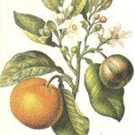 Erbe medicinali-Arancio selvatico-Tisane e uso locale