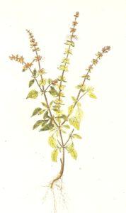 basilico erba medicinale e di bellezza come usarlo