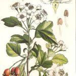 Biancospino, tisane e uso cosmetico