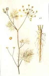Finocchio Anethum Foeniculum