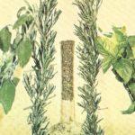 maggiorana erba aromatica e medicinale
