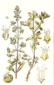 Maggiorana, aroma da cucina ed erba medicinale