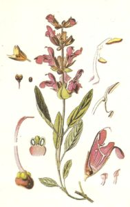 salvia erba aromatica, medicinale e di bellezza