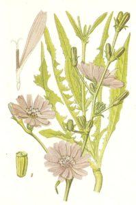 cicoria benefici delle erbe medicinali