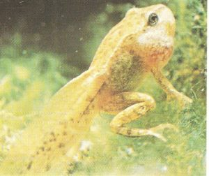 stadi evolutivi della rana
