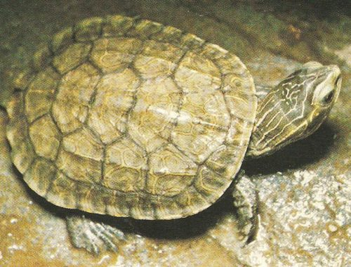 come allevare in casa le tartarughe